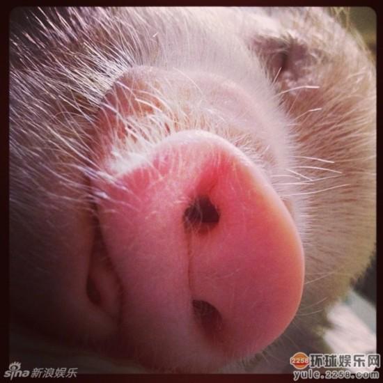 造型 时尚 网络/超萌小猪走红网络