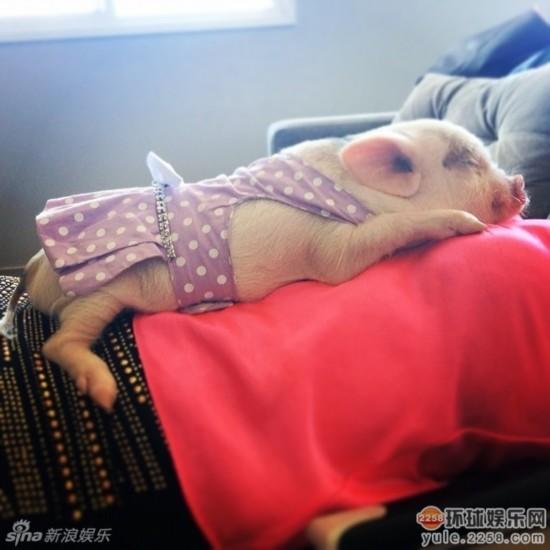 造型 小猪/超萌小猪走红网络