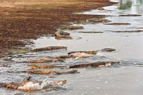 赞比亚上百条鳄鱼袭击河马群 场面壮观