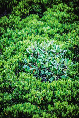 东寨港红树植物种类繁多.李幸璜