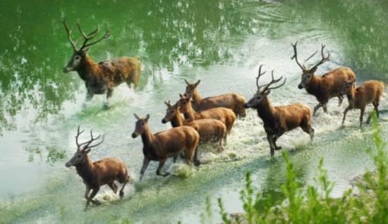 2014大丰麋鹿生态国际旅游季4月12日开幕
