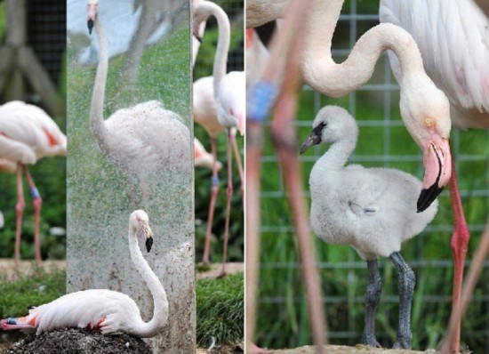 英国野生动物园妙用镜子帮助火烈鸟繁衍