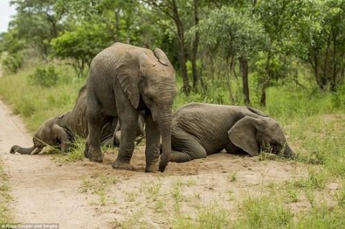 成年大象如果不吃别的食物,一天最多可以吃掉700个酒树果.-大象