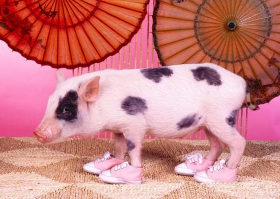 猪很聪明,也很爱干净   猪总是一身污泥,似乎不太讲卫生,但一些专家指出,它们可能是已知圈养动物中最聪明同时也最爱干净的,甚至超过猫和狗。不幸的是,由于没有汗腺,猪才会在泥浆中打滚以便让身体保持凉爽。上世纪90年代进行的试验找到了猪也很聪明的证据。试验中,猪要接受研究人员训练,用嘴巴移动屏幕上的指针,并用指针找到它们第一次看到的涂鸦。结果显示,它们完成这项任务所需的时间居然与黑猩猩差不多,聪明程度由此可见一斑。