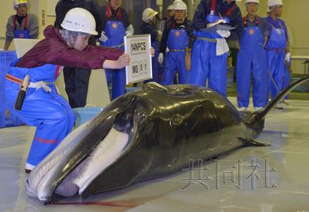 日捕鲸船捕获一小须鲸称将解剖以了解鲸鱼生态