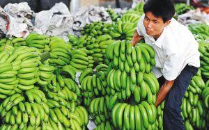 琼海春季香蕉源源上市