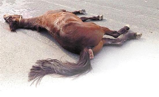 温州价值18万骏马被车撞死在闹市十字路口(图)