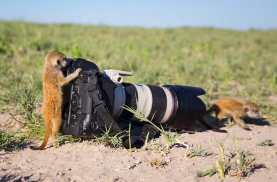 动物摄影师非洲近距离实拍萌物狐獴(图)