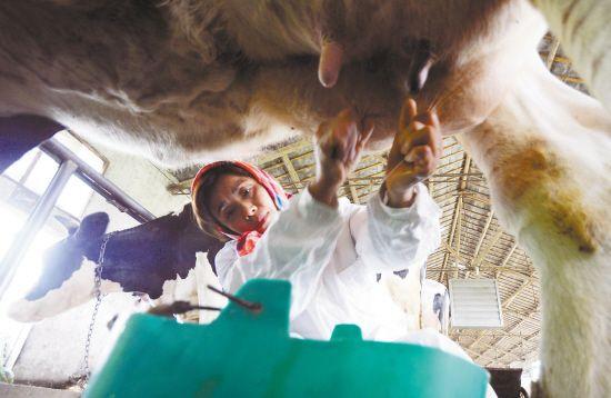 江苏兴化农家建奶牛生态产业链 发展现代农业