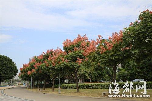 江滨公园里长满红色果子的栾树