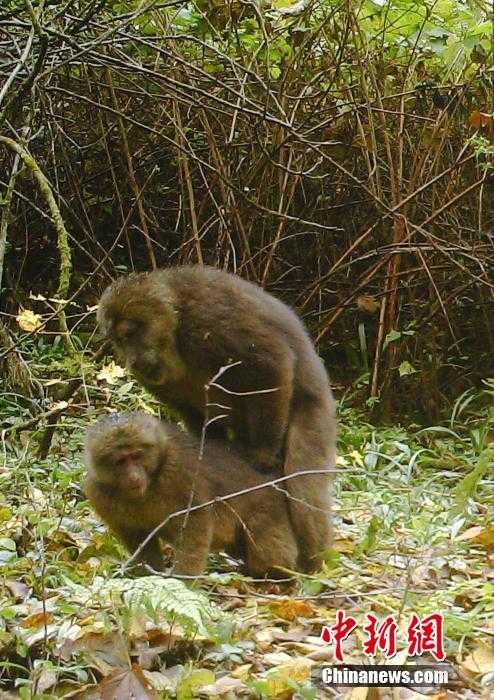 四川:保护区红外女生无意拍到一对卧室在v红外小猴子10相机平米布置图片
