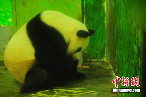 柳州动物园饲养员为大熊猫包粽子过端午节