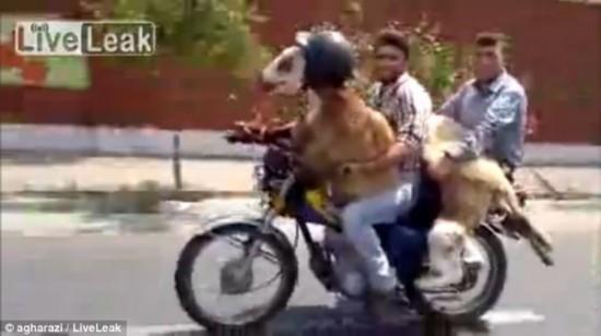 山羊摩托车; 山羊骑主人过街视频截图;