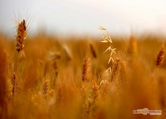 时至 芒种 麦子熟 都市麦田感受风吹麦浪 组图