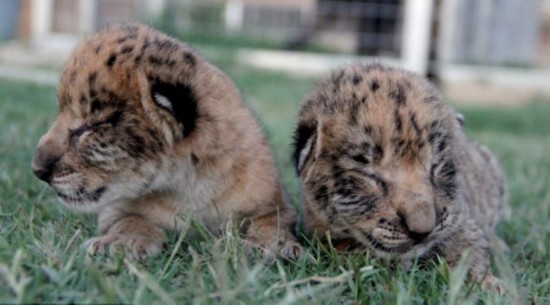 """美动物园培育全球首只雄""""狮狮虎""""(图)"""