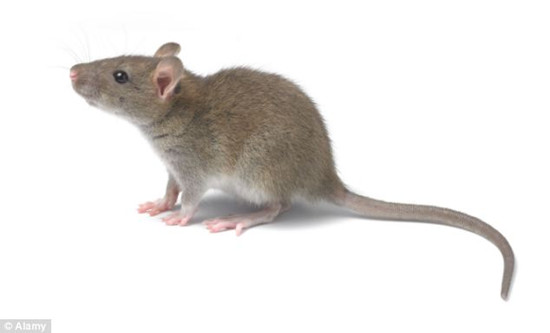老鼠也有独特情感研究显示啮齿动物会感到后悔