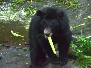 """台北动物园买茭白笋当点心""""圆仔""""和黑熊都爱吃"""