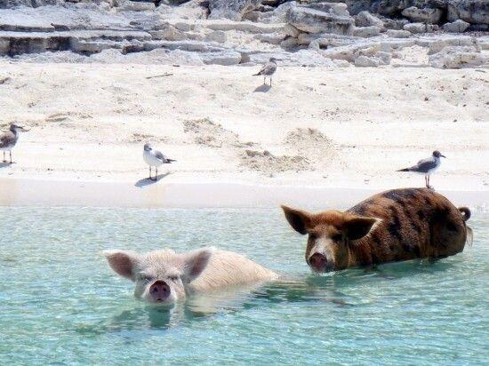 加勒比海巴哈马群岛上有大量猪生存