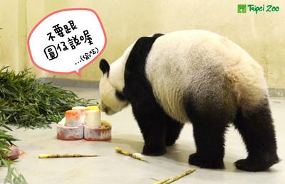 """熊猫""""圆仔""""6日庆生母亲""""试吃""""蛋糕(图)"""