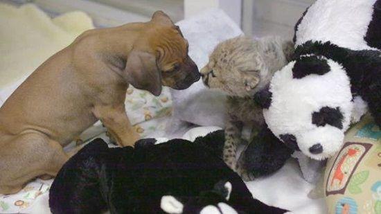 猎豹遭弃养后与小狗成好友
