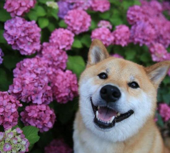 """组图:日本""""微笑柴犬""""获全球最幸福小狗称号【4】图片"""