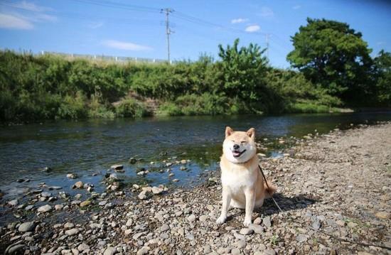 """组图:日本""""微笑柴犬""""获全球最幸福小狗称号【12】图片"""