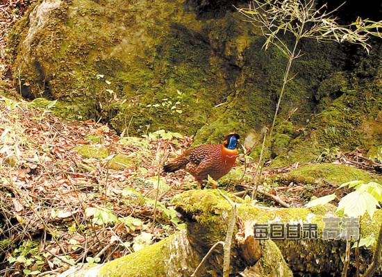甘肃白水江自然保护区:红外相机下的珍稀野生动物[组图]【2】