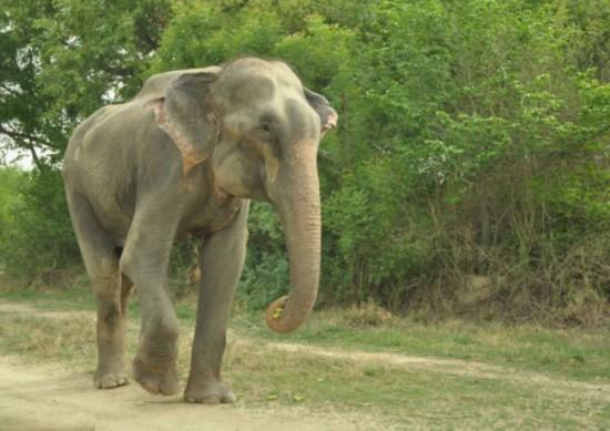 高清组图:印大象被虐待50年获救后感动流泪