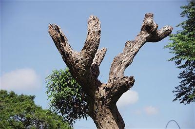 万宁:近百年枯木长出新绿