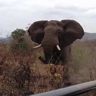 """这些不愿透露身份的游客说,他们没有受到伤害,但愤怒的公象追了他们500多米。一名游客说:""""当时我们正在进行自拍游,直到来到一个角落时,才看到那里只有一头大公象,它藏身在树后。"""""""