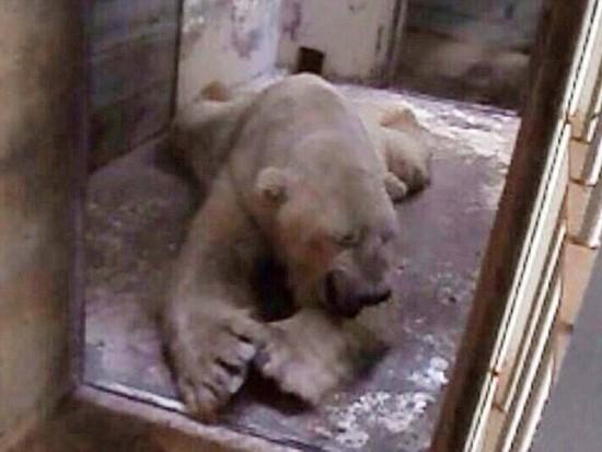 悲伤北极熊受动物园40度高温折磨 患精神病(组图)【6】