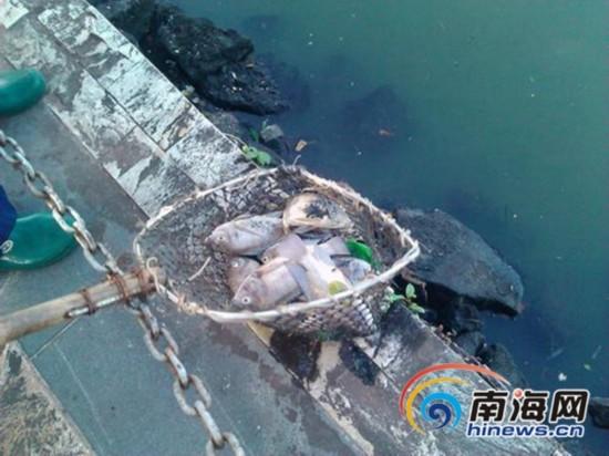 海口东西湖现大量死鱼 公园称水质恶化所致