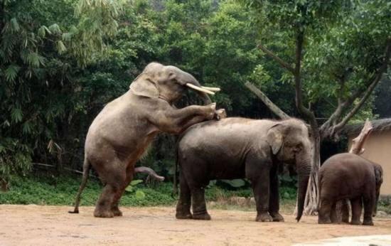 揭秘野生动物性行为:大象生殖器像第五条腿(