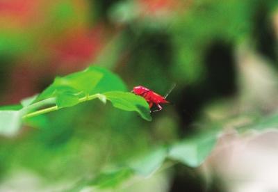 福州:木棉树上小虫爬进居民家 10瓶杀虫剂也灭不掉