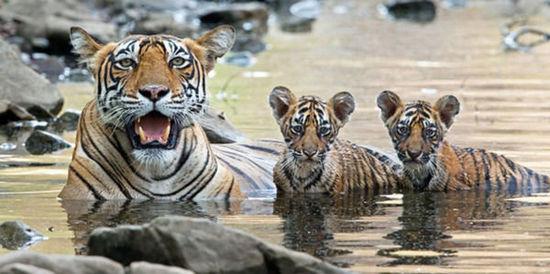 两只老虎歌儿歌视频_两只老虎幼崽