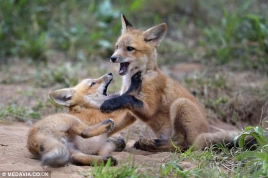 摄影师v狐狸超萌小狐狸兄弟嬉戏追逐活泼好动情趣用品上门南昌图片