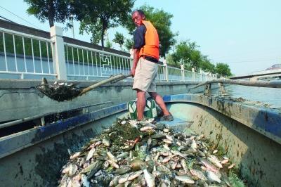北京市民河中放生小鱼 水温过高上千斤鱼被烫死