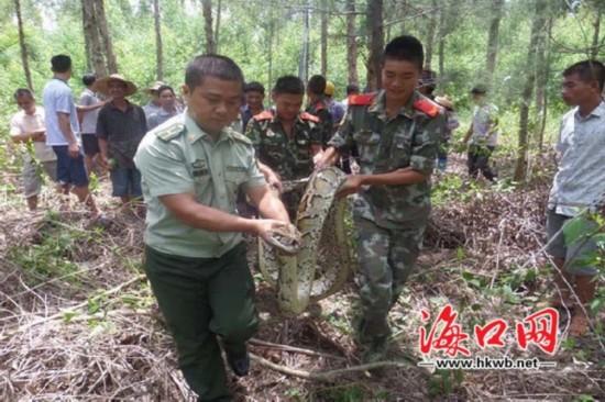 儋州一村庄惊现60斤大蟒蛇