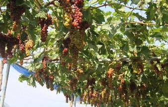 那些郑州摘葡萄的好地方,熟透的葡萄馋死人