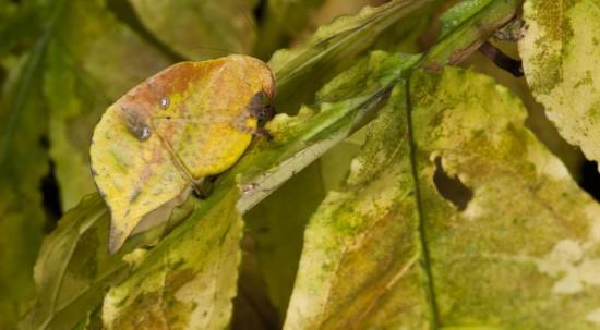 厄瓜多尔昆虫巧妙伪装成枯叶难辨认