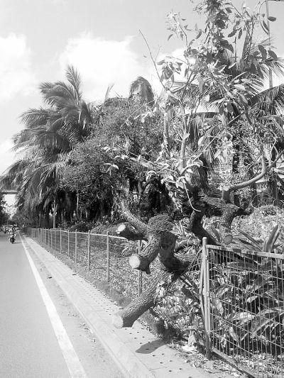海口近十万株树倾倒 椰子树不倒堪称树坚强