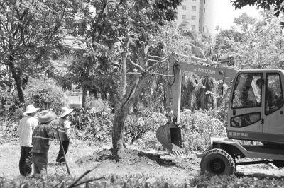 海口园林局:扶起全部倒伏树木仍需一周时间