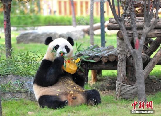 """当日,从四川卧龙自然保护区迁居济南的大熊猫""""叮叮""""在济南动物园迎来4"""