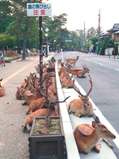 日本酷热难耐奈良上百只鹿马路上趴着乘凉(图)
