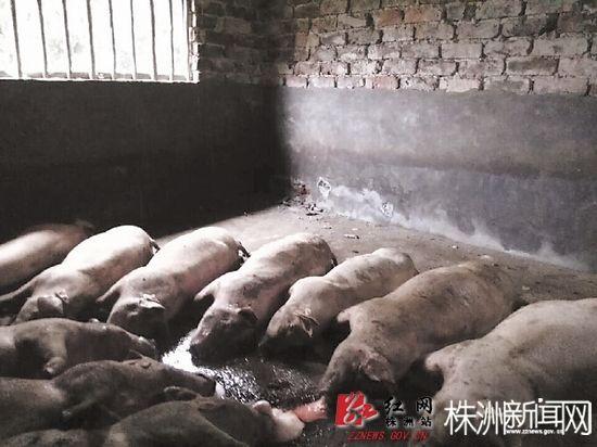前天,茶陵县一养猪场遭雷击,造成生猪被雷劈死