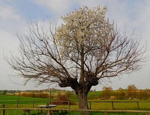 意大利小镇惊现樱桃树寄生桑树奇观图片