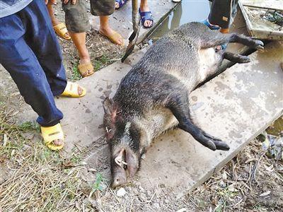 野猪遭村民围杀被激怒 咬死一人后被打死(图)