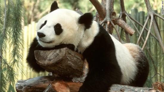 圣地亚哥动物园的主要看点是大熊猫,动物园最近也迎来了新生的大