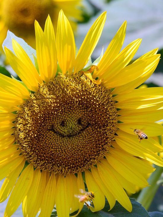 向日葵笑脸囹�a_日本摄影师拍\