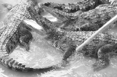 """台风刮倒文昌一养殖池围墙 鳄鱼趁机""""越狱"""""""